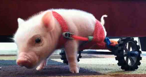 Pig in Wheelchair Lands 3-Book Deal