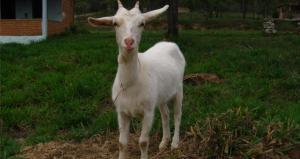Write an Essay, Win a Goat Farm