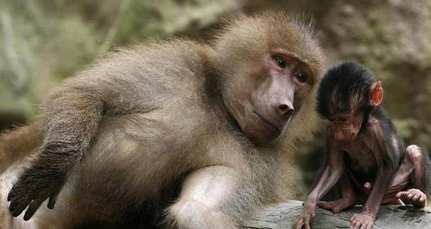 Baboons Can Read